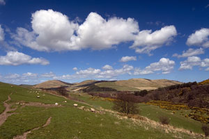 sheep grazing on the Cheviot Hills, between England and Scotland