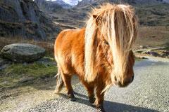 welsh pony wales uk